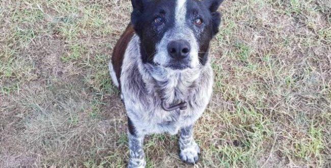 سگ وفاداری که نشان پلیس استرالیا را دریافت کرد