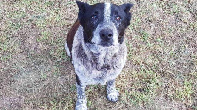 سگ وفاداری که نشان پلیس استرالیا دریافت کرد