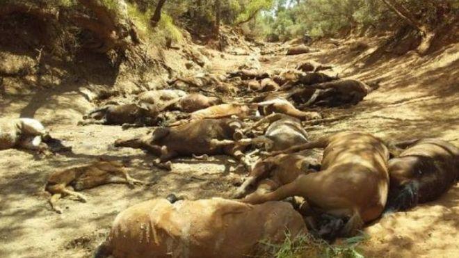 گله اسبهای وحشی در گرمای بیسابقه استرالیا هلاک شدند
