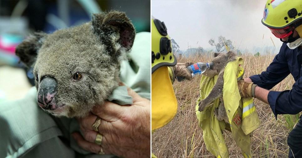 مرگ بیش از 2000 کوآلا در شرق استرالیا