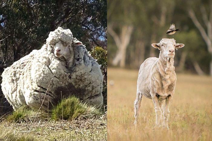 کریس، پشمالوترین گوسفند جهان، مرد