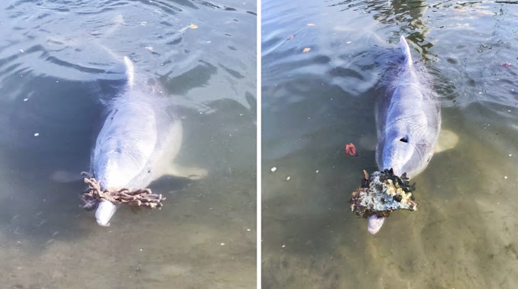 دلفینها از اعماق دریا برای انسانها هدیه میآورند