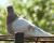 استرالیا کبوتر آمریکایی را که غیرقانونی به این کشور سفر کرده میکشد