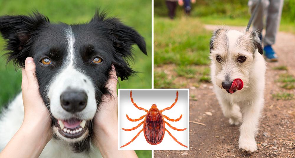 بیماری کشنده سگها به سرعت در استرالیا در حال گسترش است