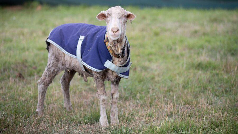 گوسفند مرینوس رهاشده در طبیعت ۳۵ کیلوگرم پشم داشت