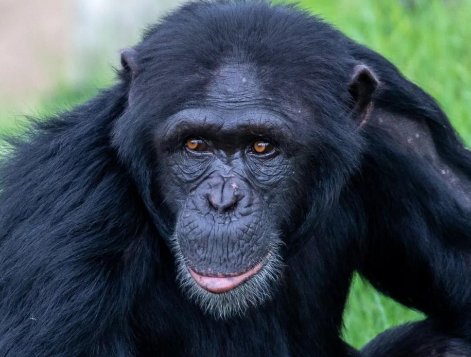 تعطیلی موقت باغ وحش سیدنی به دلیل مرگ یک شامپانزه