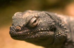 خطر انقراض در کمین خزندگان بومی استرالیا