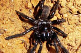 پیرترین عنکبوت جهان در استرالیا مرد