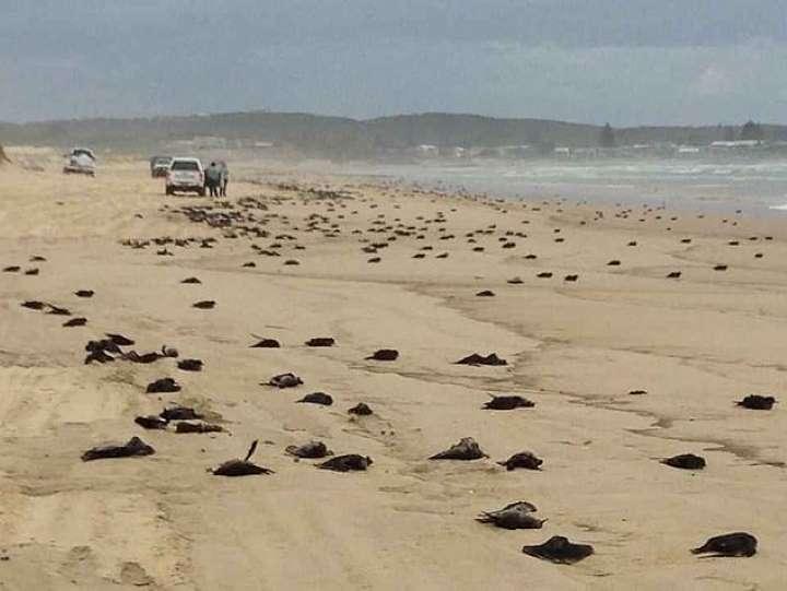نگرانی از کشف اجساد صدها پرنده مرده در سواحل شرق استرالیا
