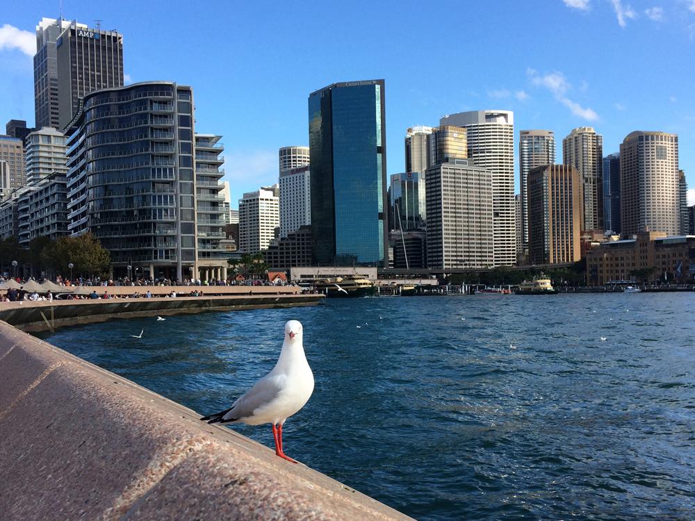 مرغهای دریایی استرالیایی، ناقل میکروبهای مقاوم در برابر آنتیبیوتیک
