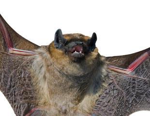 هجوم ٢٠٠ هزار خفاش به شمال کوئینزلند