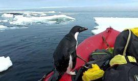 خوش و بش کوتاه یک پنگوئن با محققان در بخش استرالیایی قطب جنوب