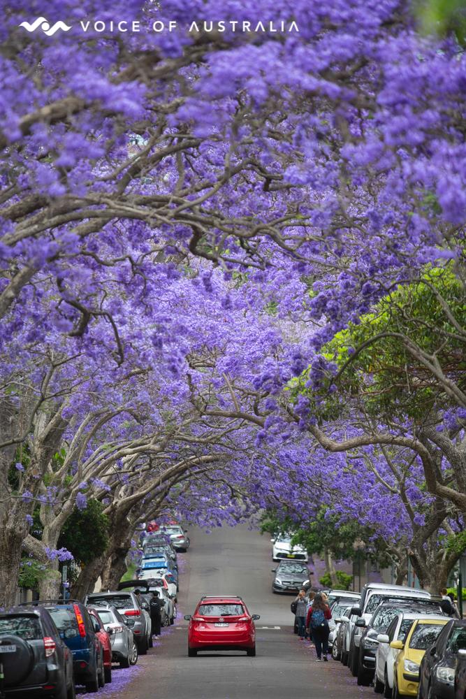 درختان جاکاراندا از جاذبه های گردشگری شهر سیدنی