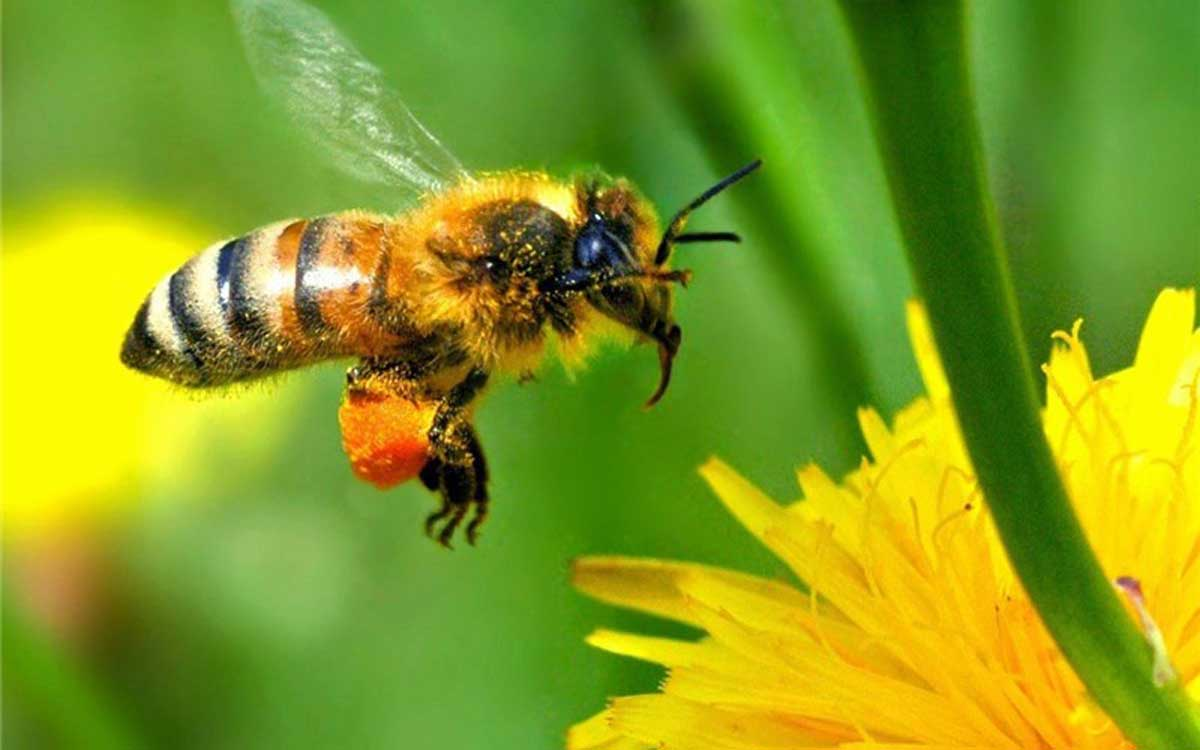 محققان استرالیایی: زنبورها چهره را تشخیص میدهند