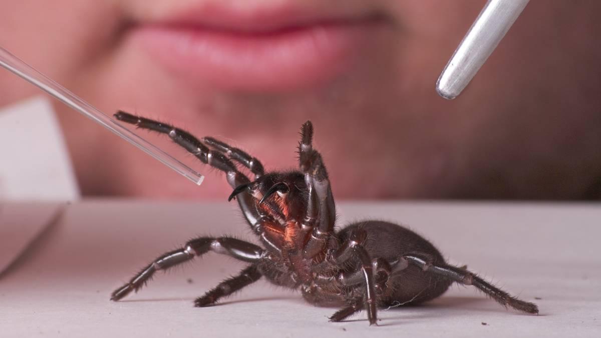 هشدار در خصوص افزایش عنکبوتهای مرگبار