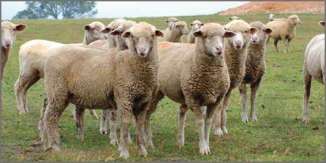 صادرات گوشت گوسفندی استرالیا به ایران