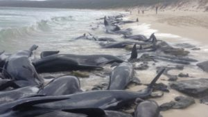 بیشتر نهنگهای خلبان به ساحل آمده در استرالیا مردند